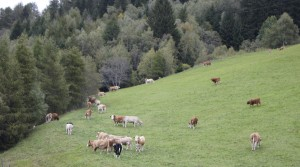 Австрийские бурёнки