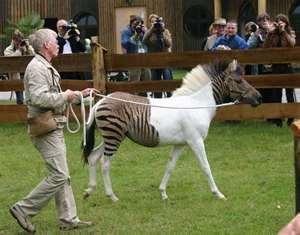 Как хочется порой, чтобы зебра жизни была альбиносом!