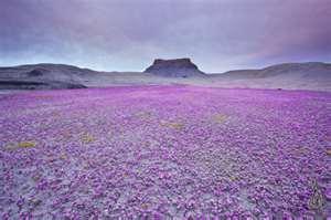 Цветущая пустыня  весной