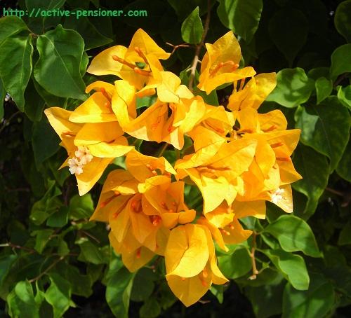 Жёлтая бугенвиллия (yellow bougainvillaea)