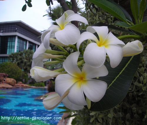 Цветы плюмерии (frangipani flowers)