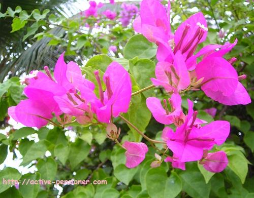 Розовая бугенвиллия (pink bougainvillea)