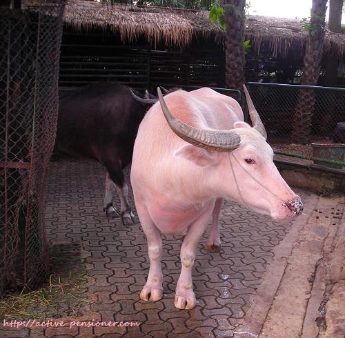 Розовый буйвол. (Pink buffalo)