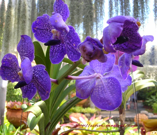 Орхидея.Парк Нонг Нуч. Паттая. (Orchid.Nong Nooch. Pattaya.)