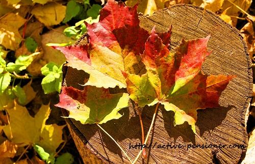 Осень, кленовые листья.