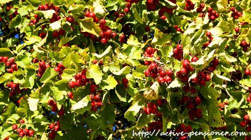 Осень. Плоды боярышника.