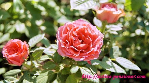 Розы Летнего сада (Санкт-Петербург)