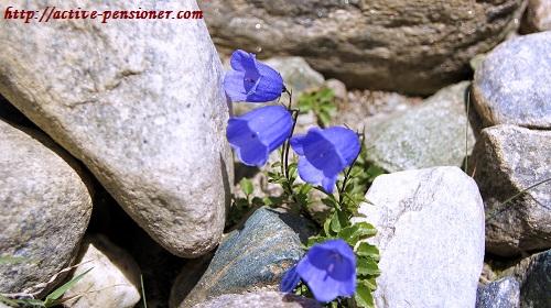 Колокольчики в Альпах