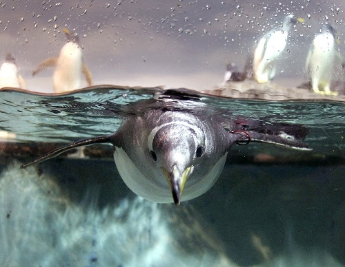 Приветливый пингвин (океанариум, Барселона)