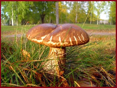 Белые грибы растут прямо на территории вокруг санатория; вот один из них